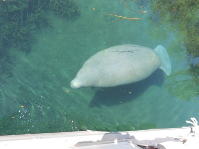 Just another day on the river for this Silver River Manatee
